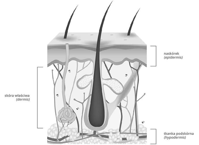 Budowa skóry - grafika